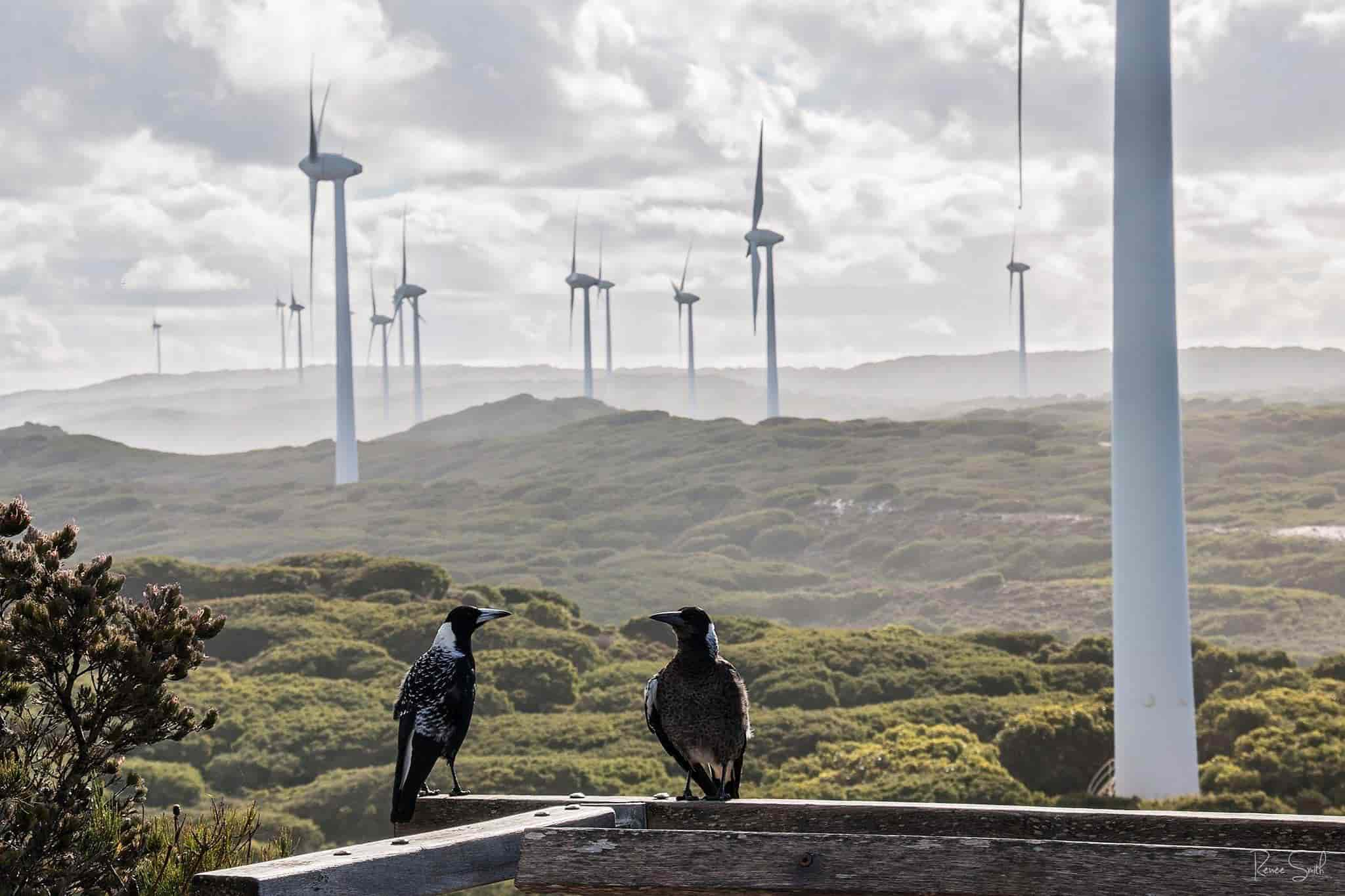 Two magpies sitting in front of the impressive Albany Windfarm